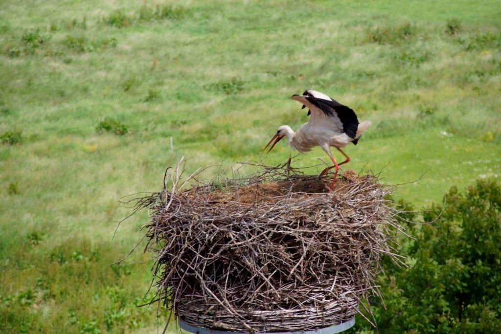 Das bütende Weibchen streicht nach dem Überflog eines fremden Storches ab