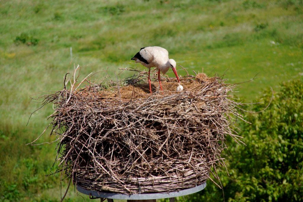 Der Storch knackt das Ei...