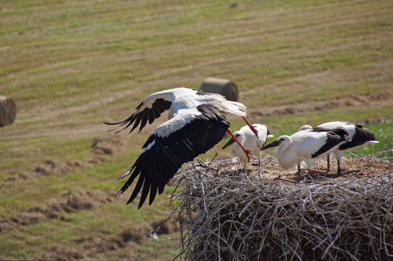 Abflug nach der Fütterung - gut zu erkennen sind die roten Beine des Altvogels
