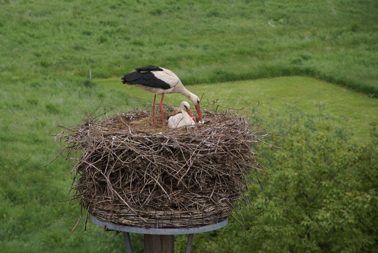 Das Weibchen brütet, während er die Eierschale weglegt.