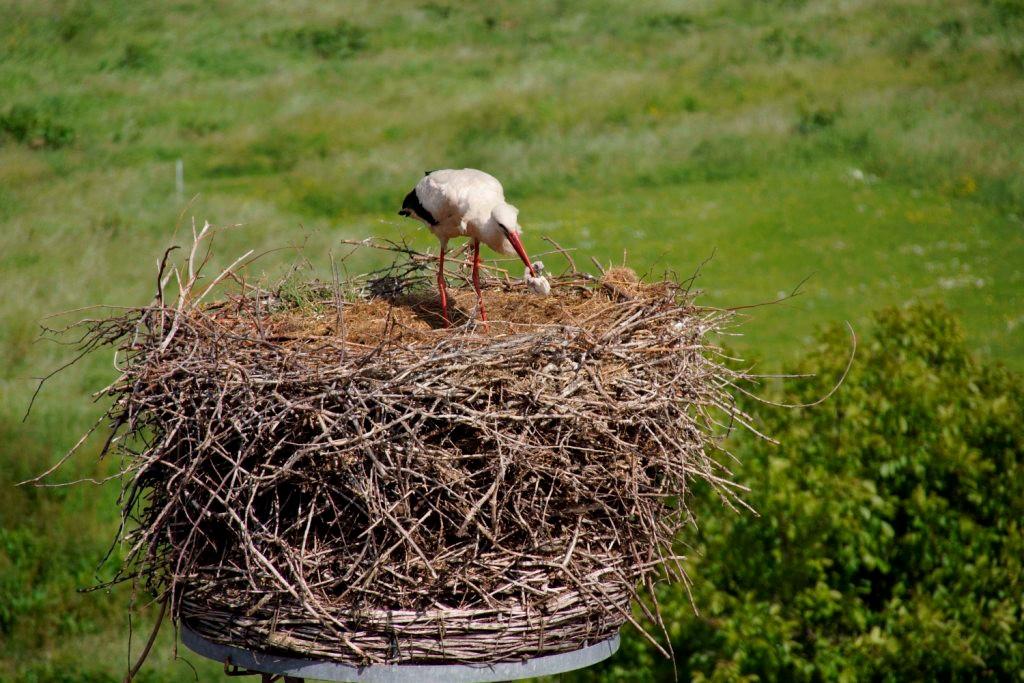 Dann ergreift der Storch den Jungvogel...