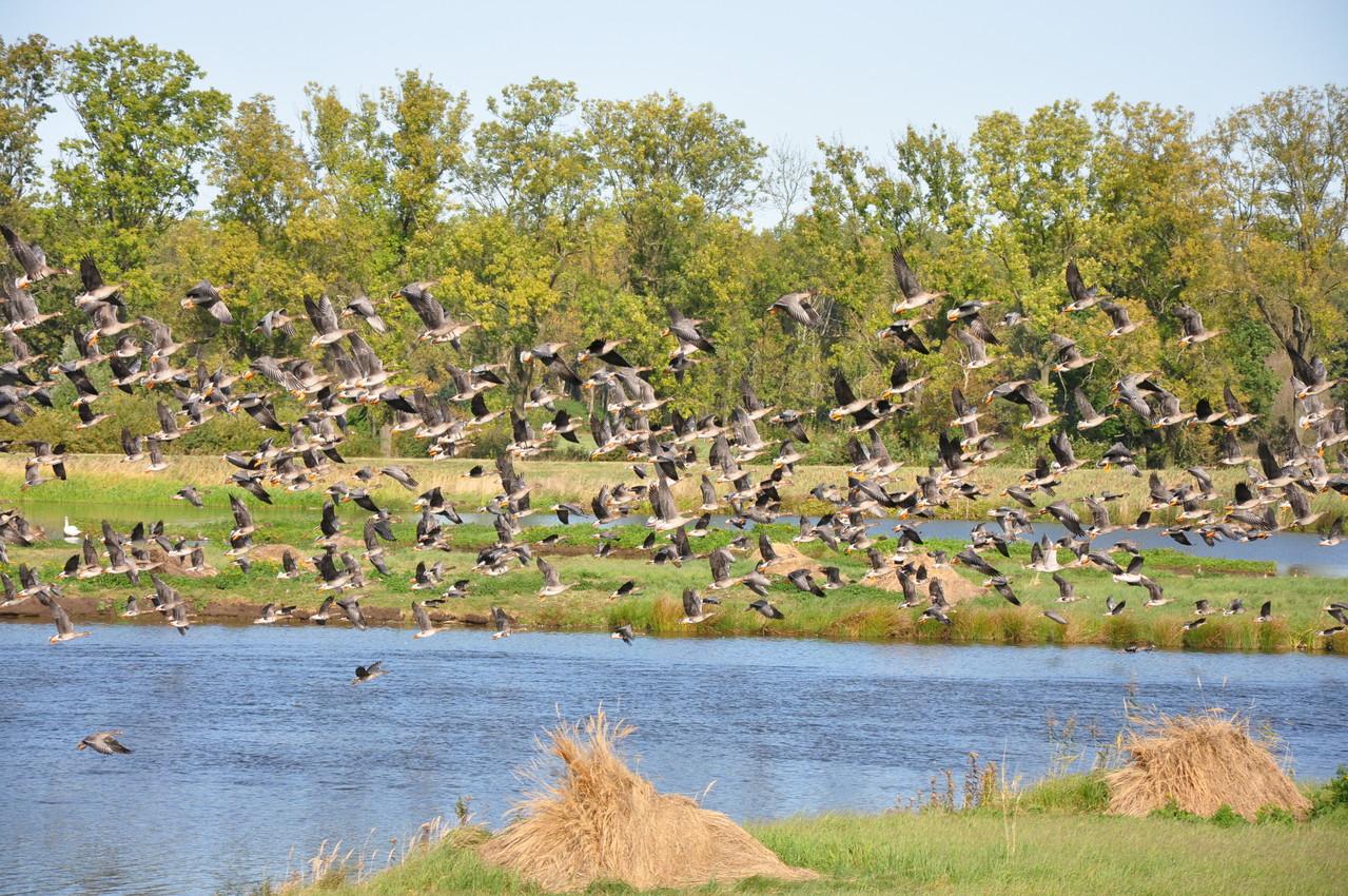 Unregelmäßig fliegen viele von ihnen auf (wenn beispielsweise Seeadler entdeckt werden), um nach einiger Zeit wieder zu landen. In dem Schwarm sind Saat-, Bleß- und Graugänse zu erkennen (Foto: Ulrich Meinhard)