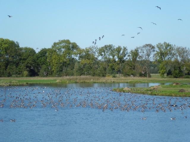 Auf der Flachwasserzone Mannhausen rasten tausende Wildgänse (Foto: Gudrun Edner)