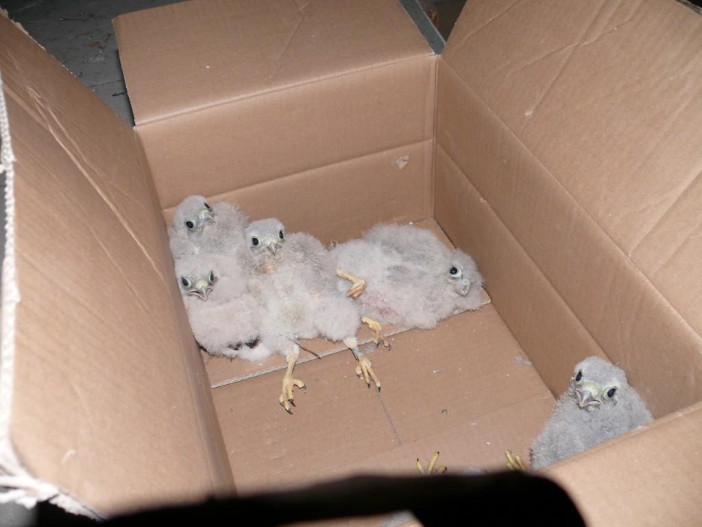 ...die jugen Greifvögel in einen Karton, um ...