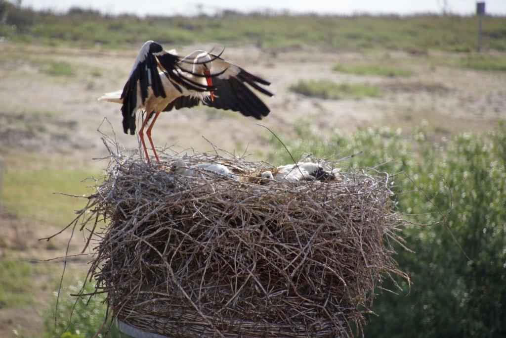 Nach ein paar Minuten war alles vorbei! Ein Altvogel kommt zum Nest zurück...