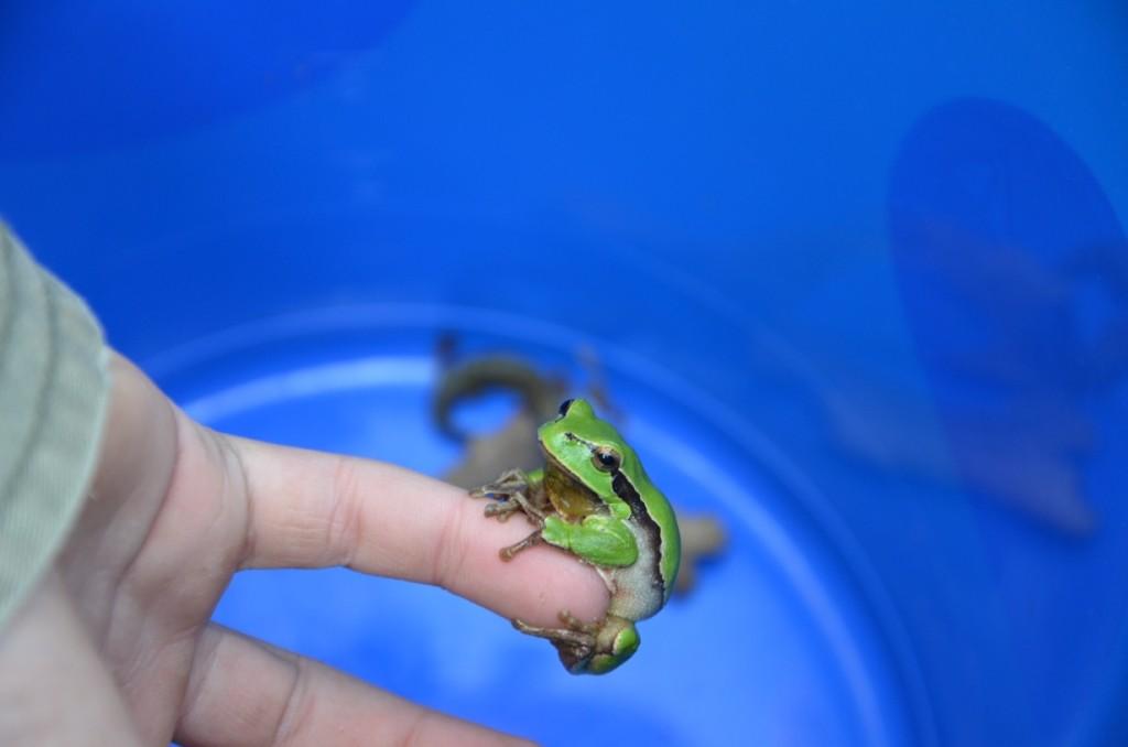 """Ein sehr seltener Gast im """"Krötentaxi"""": der Laubfrosch (Foto: Danny Richter)"""