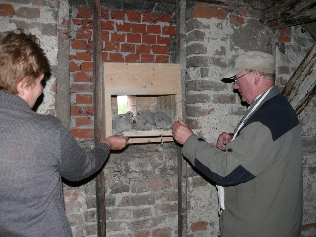 ...in den Nistkasten (Brutplatz) zurückzusetzen (links: Hannelore Ziepert, Umweltkoordinatorin der Stadt Schönebeck)