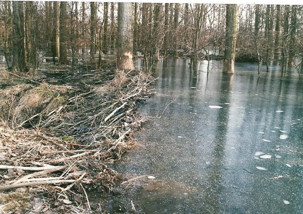 Vom Biber angestaut - diese überflutete Fläche bereitet keine Probleme!