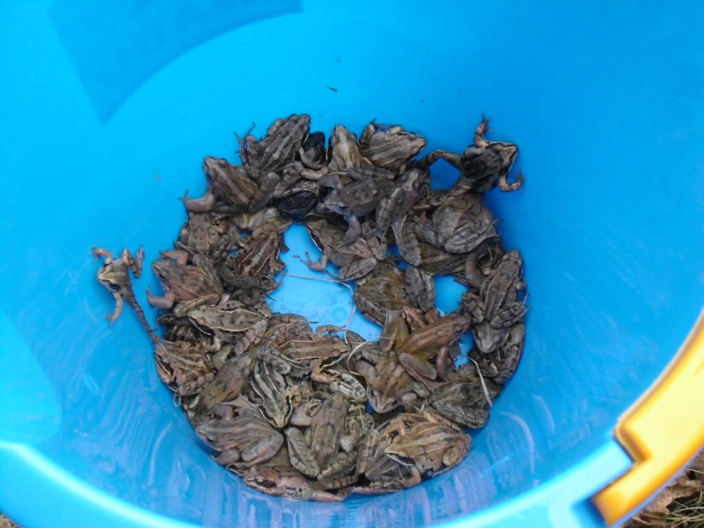Es werden immer mehr Frösche und Molche im Krötentaxi....