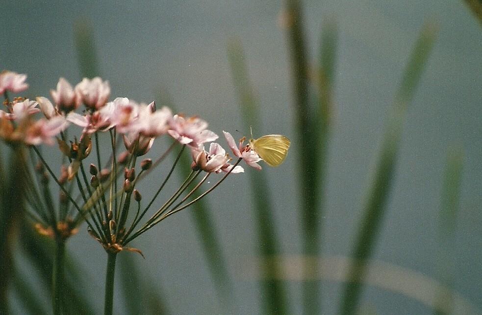 Schwanenblume mit Weißling