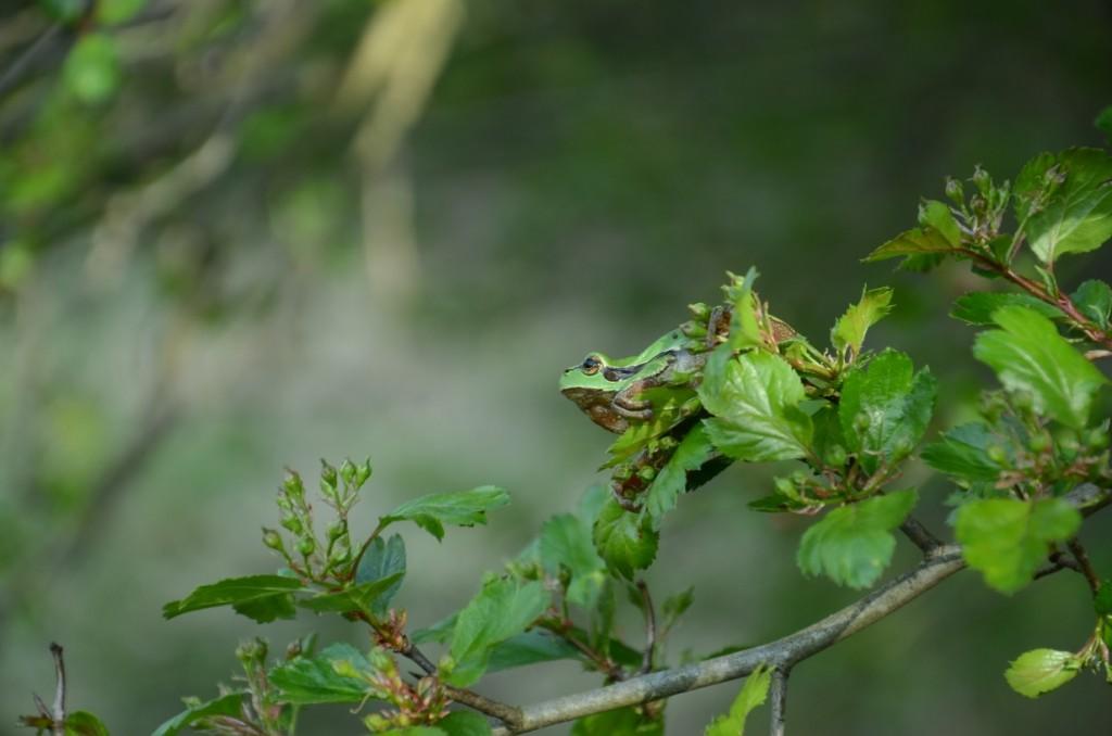Laubfrosch im Weißdorn (Foto: Danny Richter)