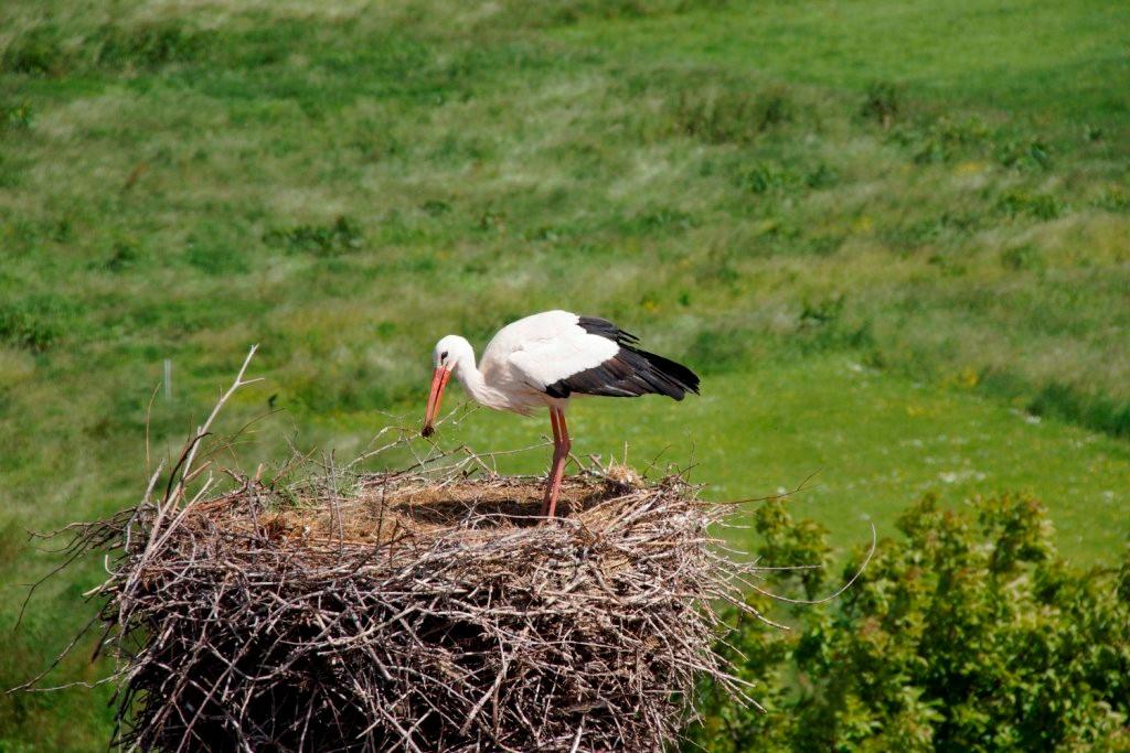 Im Nest werden kleinere Ausbesserungsarbeiten vorgenommen