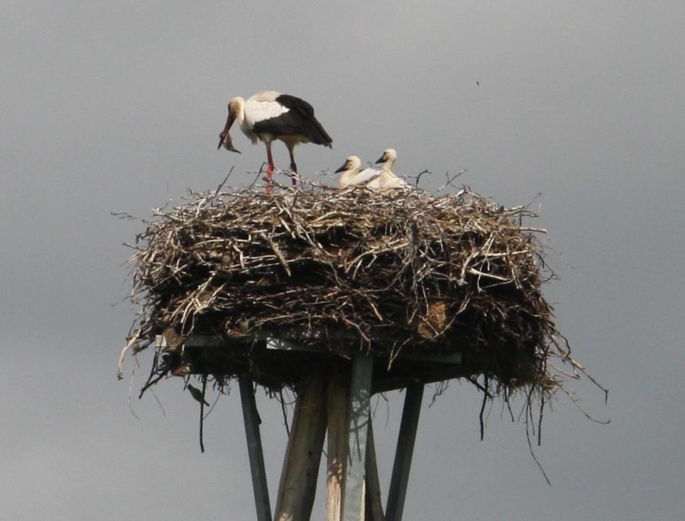 ...hier wurde man Zeuge eines spektaktulären Ereignisse: ein Sperling wurde in der Luft vom Storch gefangen und dann an die Jungen verfüttert wurde!