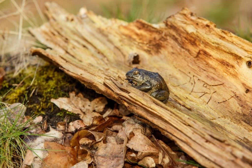 Knoblauchkröte (Foto: René Pittner)