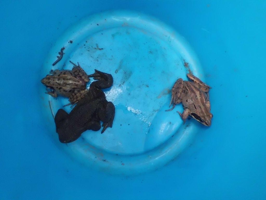 """Blick ins """"Krötentaxi"""" - eine Erdkröte und zwei Moorfrösche"""