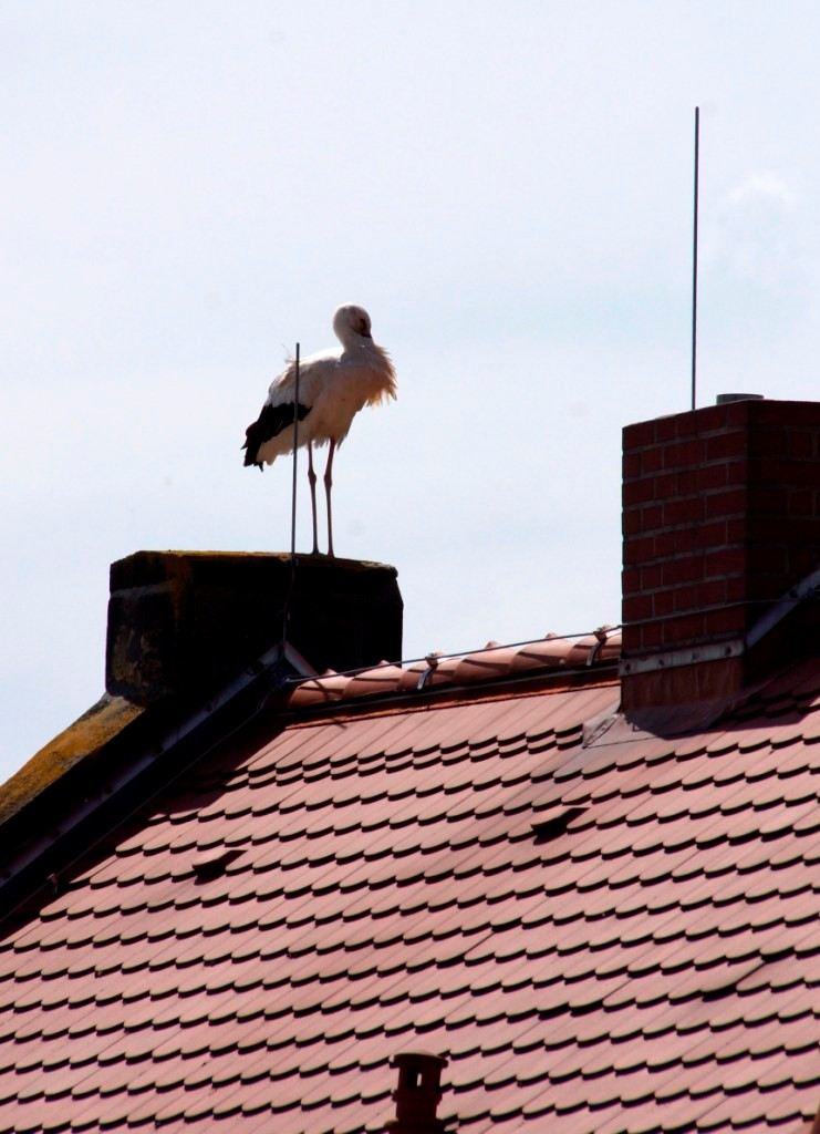 Einer der vertriebenden Störche auf dem Dach der Feuerwehr