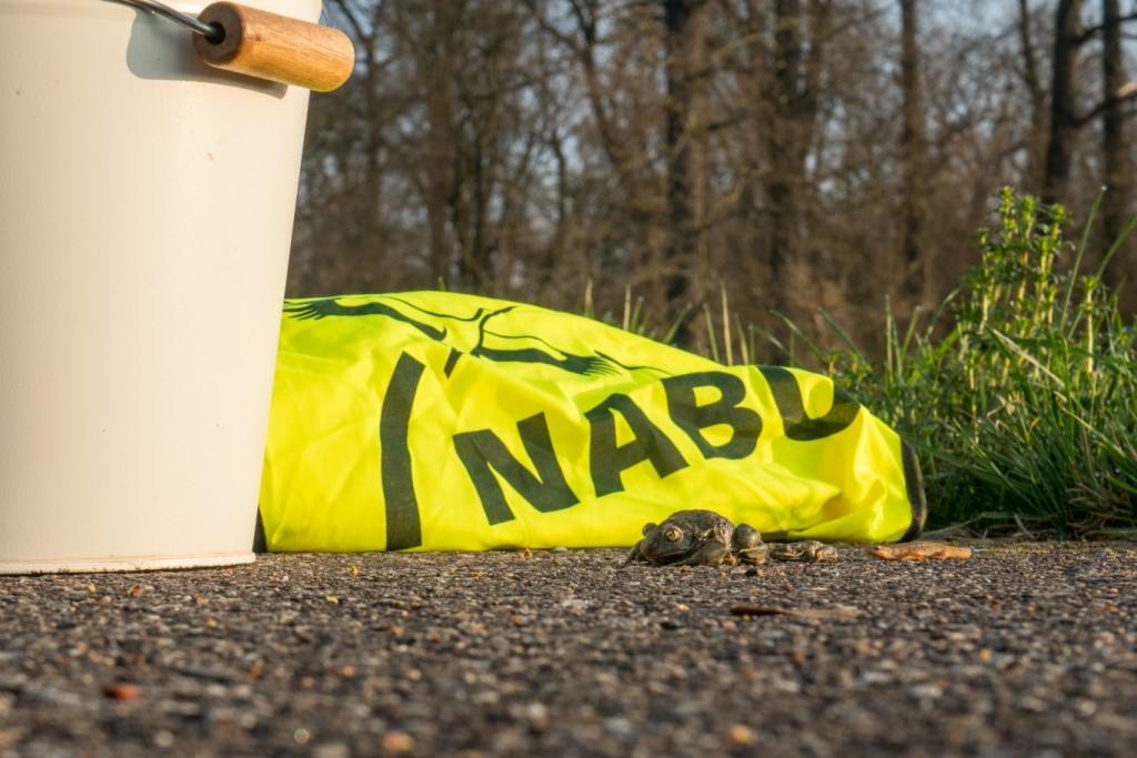 Drei Lurche vor NABU-Warnweste: v.li. Knoblauchkröte, Moorfrosch und Teichmolch (Foto: René Pittner)