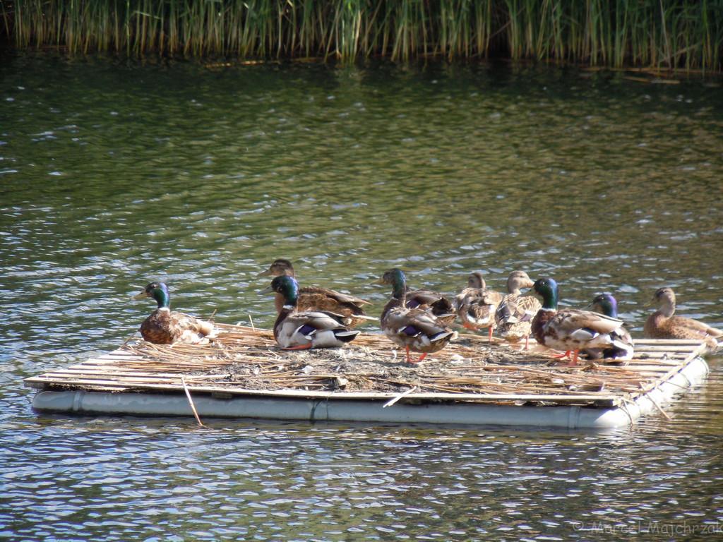 Stockenten auf Floß