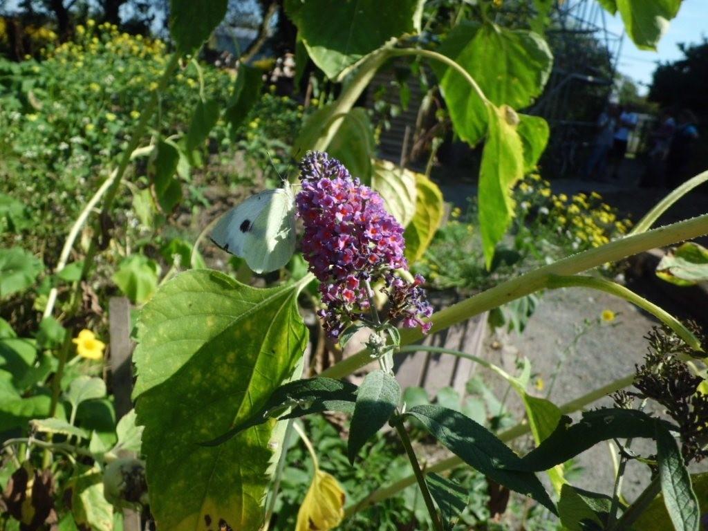 Naschender Weißling auf Blüte des Schmetterlingsstrauches