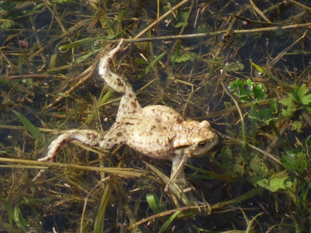 ...Erdkröten schwammen im Wasser