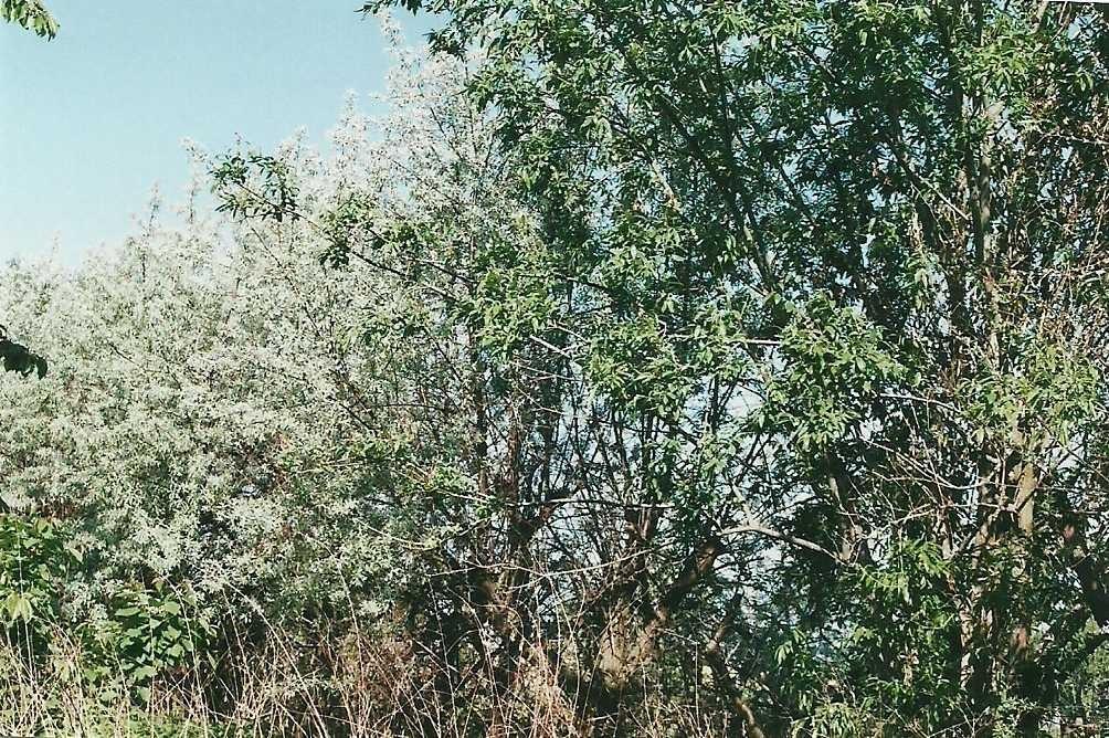 Ölbäume als Begrenzung