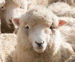 Schafe sind recht genügsame Tiere, sie lieben saftige Wiesen, sie blöken, mähen und meckern......allerdings nur dann, wenn Gefahr herrscht! Schafe können sich etwa 50 Schafgesichter merken! Sie merken sich, welches Futter ihnen gut tut und von welchem sie