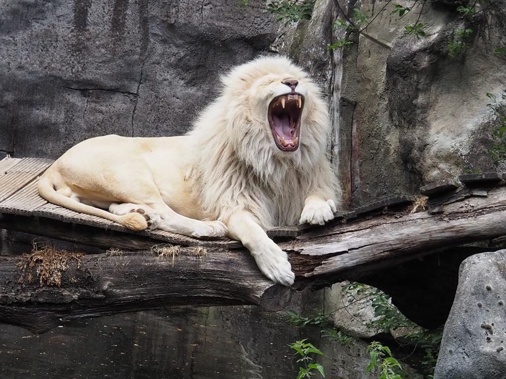 Leeuw in dierenpark rhenen