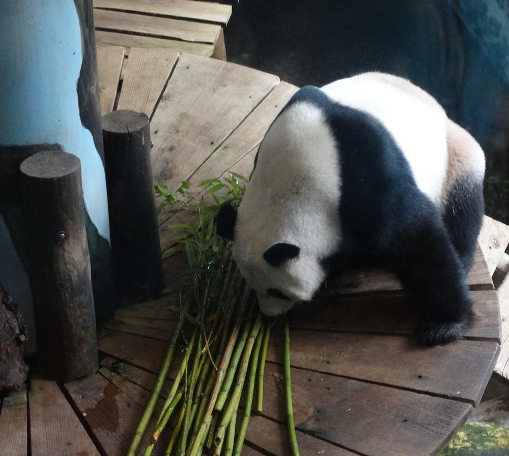 Panda in dierenpark rhenen