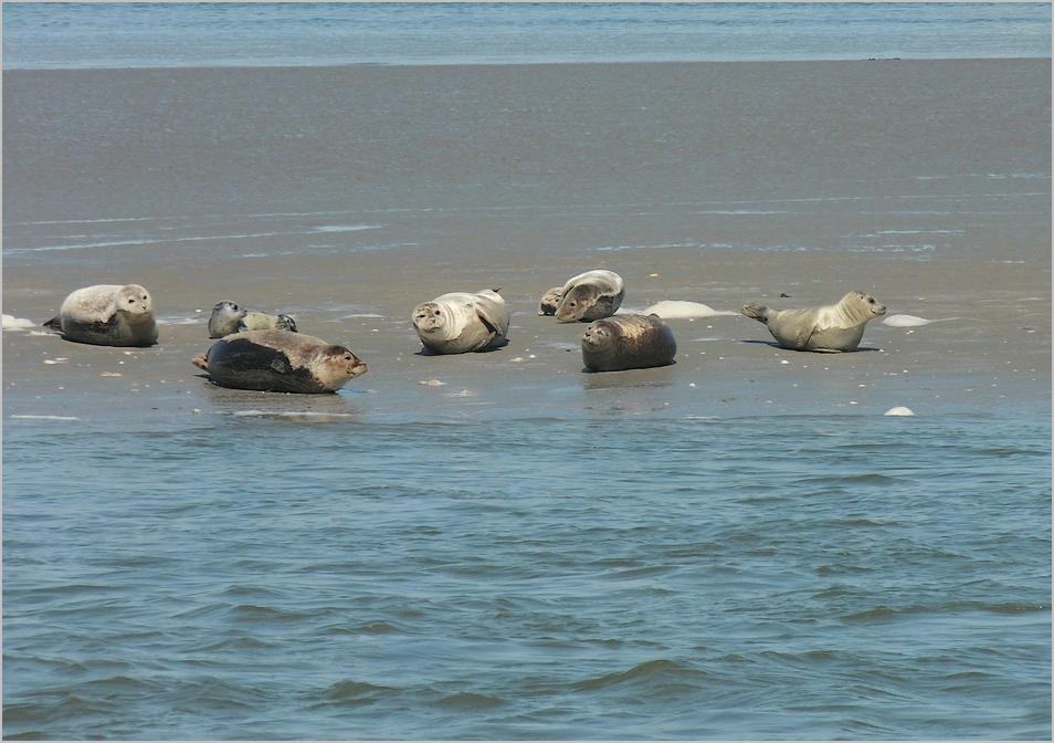 Seehunde auf einer Sandbank vor Langeoog