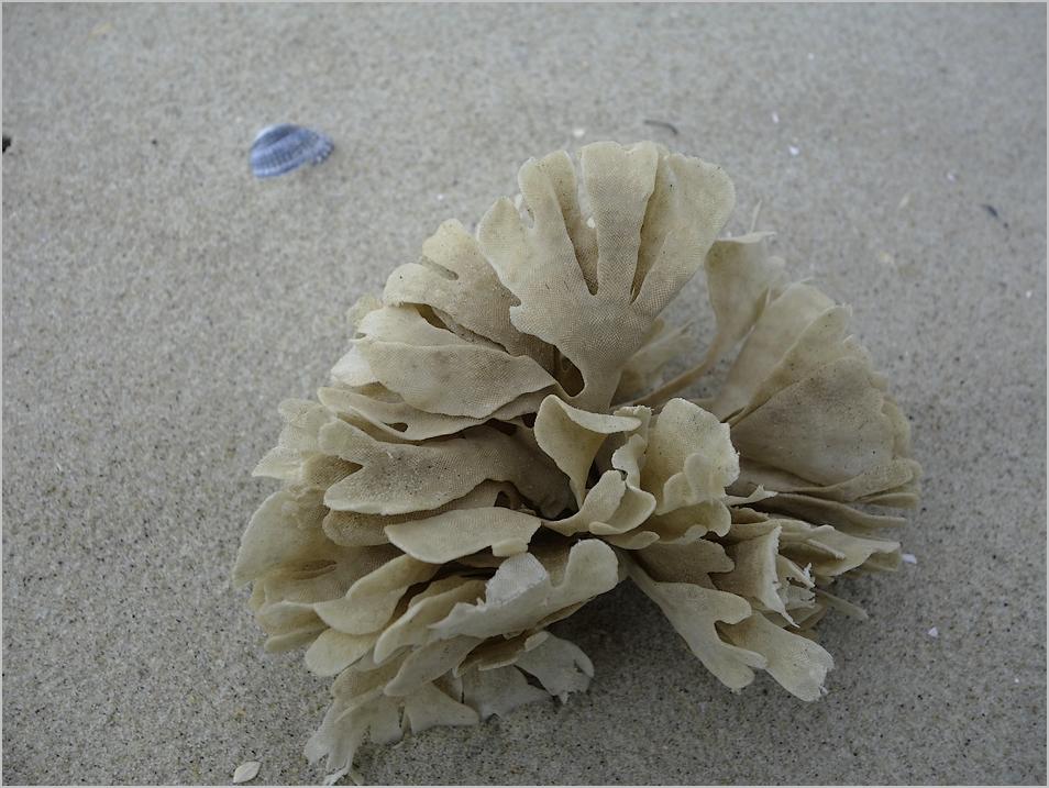 Strandfund - Blättermoostierchen