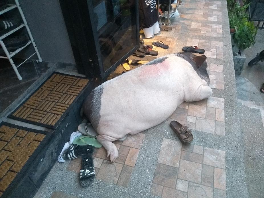Hausschwein Monkgol
