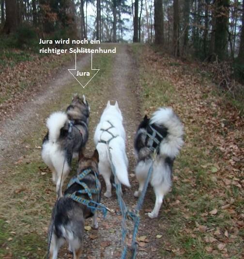 ... (v. Li.) darf sein Leben unter Huskyfreunden in der Schweiz leben