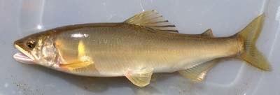 朱太川で捕獲された鮎。胸のあたりにある黄色い円形の模様は「追い星」と呼ばれ、 アユが縄張りを作ると出てくる模様だという。
