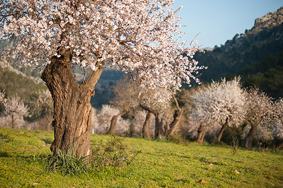 Almond blossom on Majorca