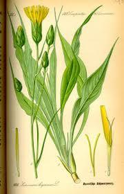 Schwarzwurzelpflanze