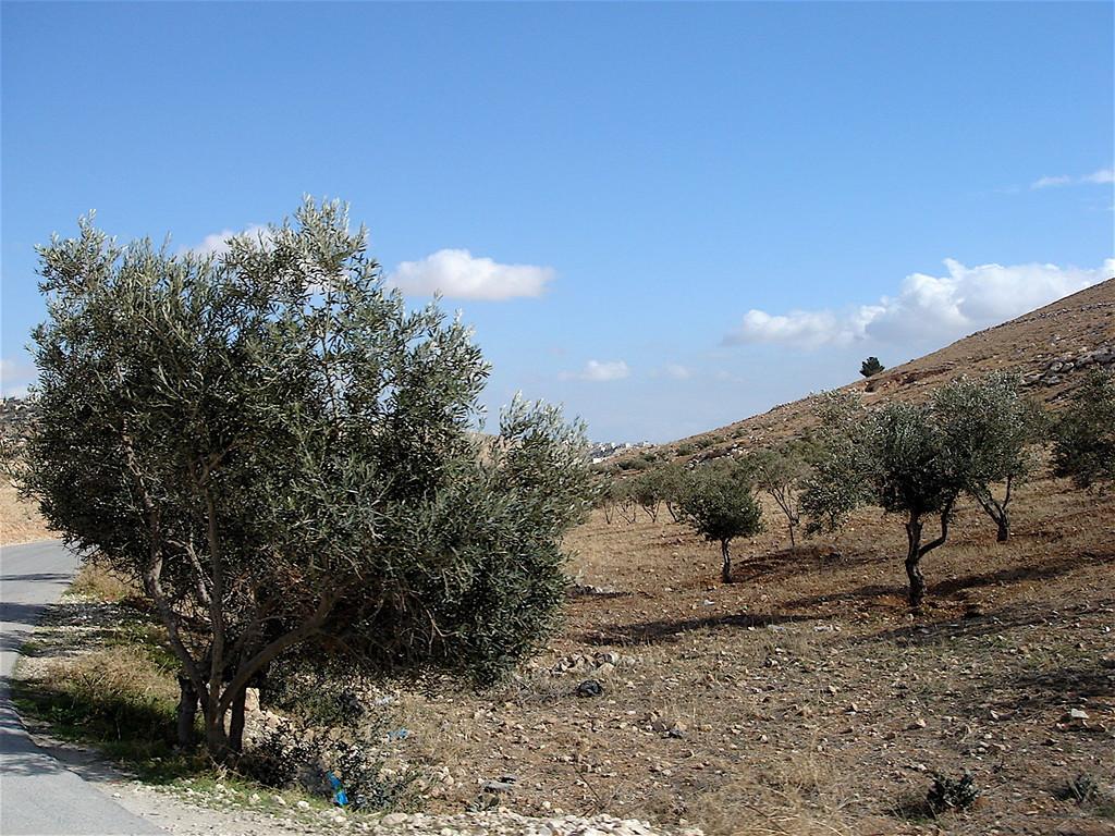 gli ulivi della Palestina
