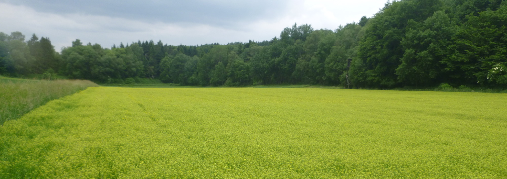 Ein blühendes Feld mit  Leindotter im Lichtenauer Hochland
