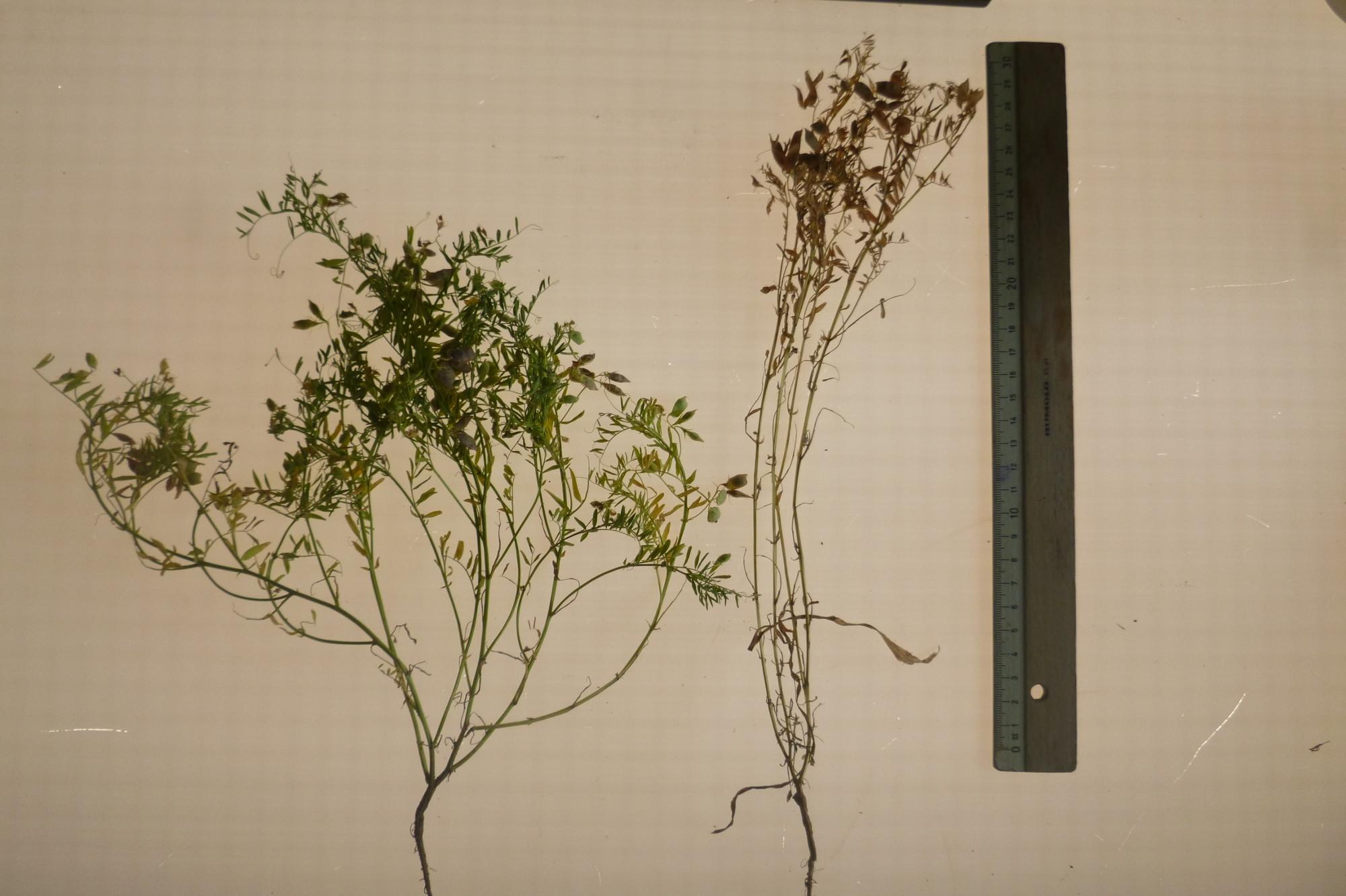 Links eine noch wachsende und rechts eine abgereifte Pflanze.