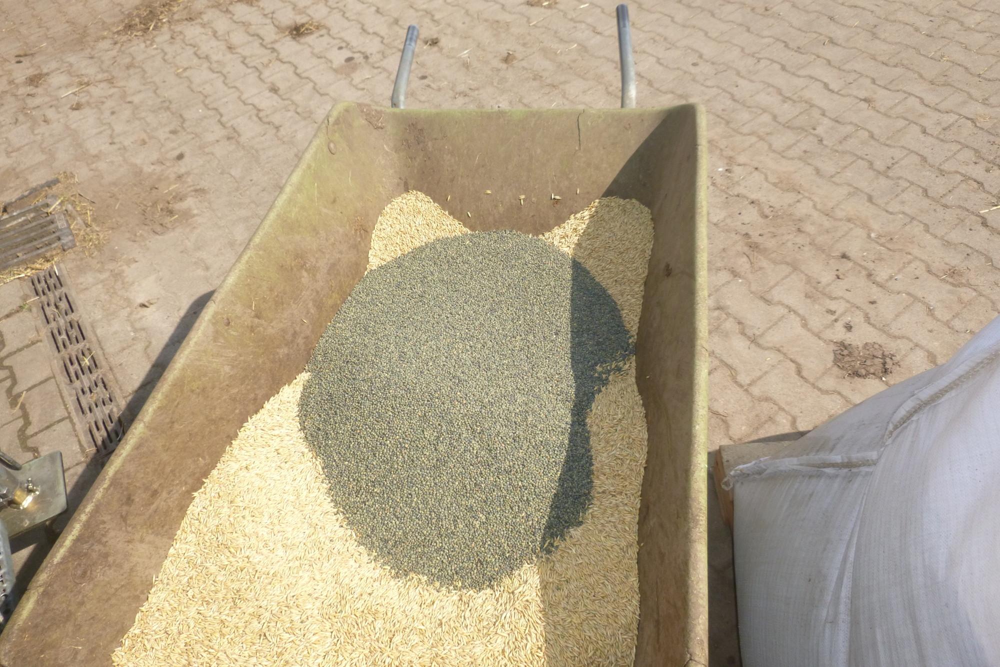 Das Saatgut von Linse und Stützfrucht wird gemischt (hier für eine Aussaat mit Getreide)