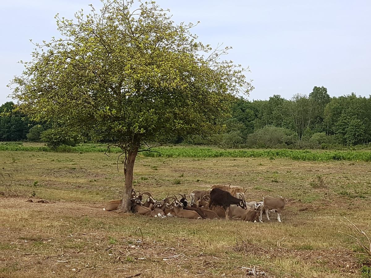 Die Ziegen suchten sich einen Schattenplatz