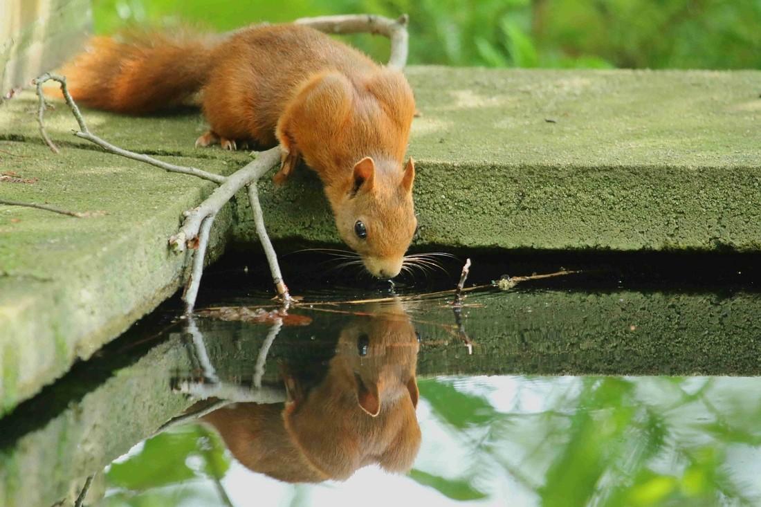 Eichhörnchen  ©  Marc Pfeifer