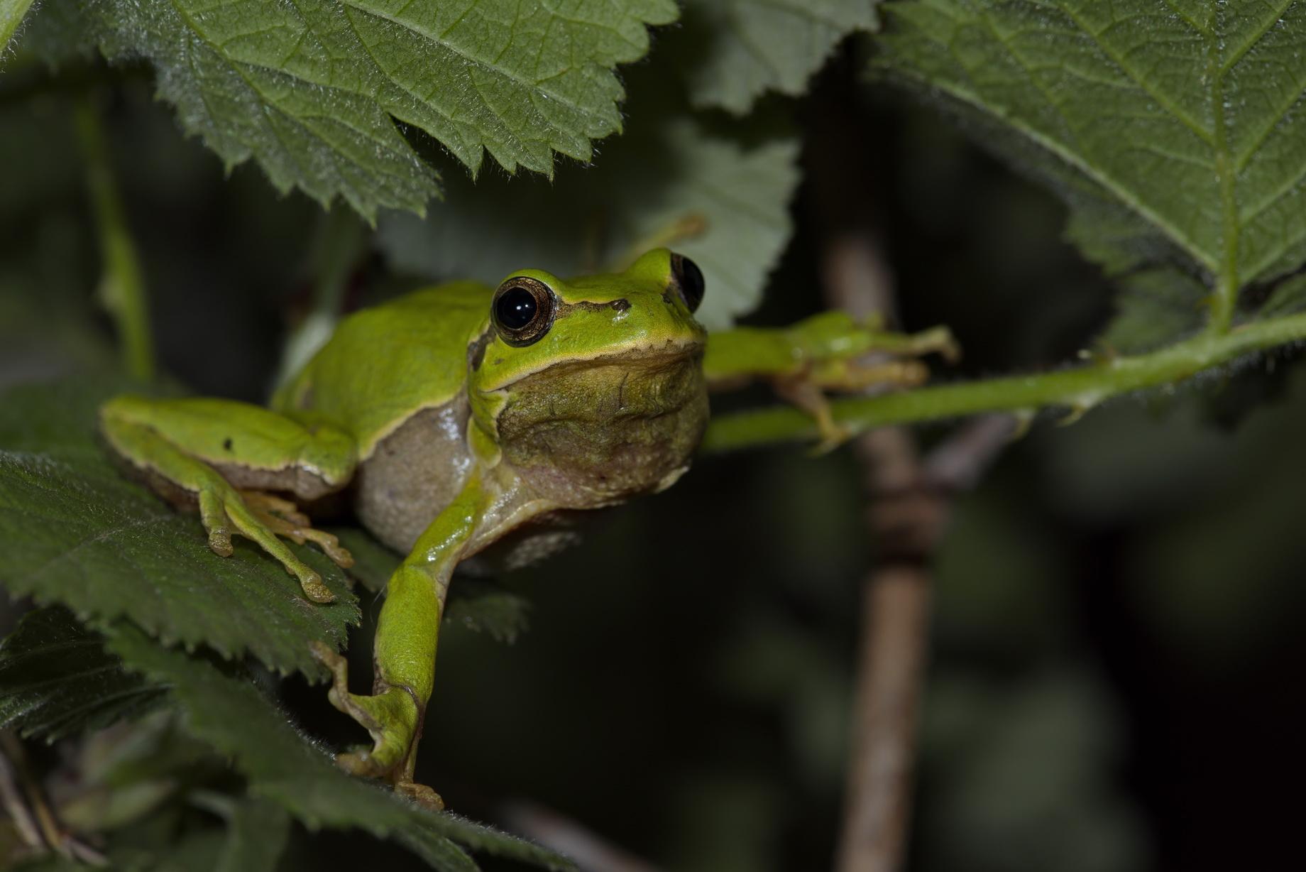 Laubfrosch (Hyla arborea/orientalis), Männchen, Samothraki