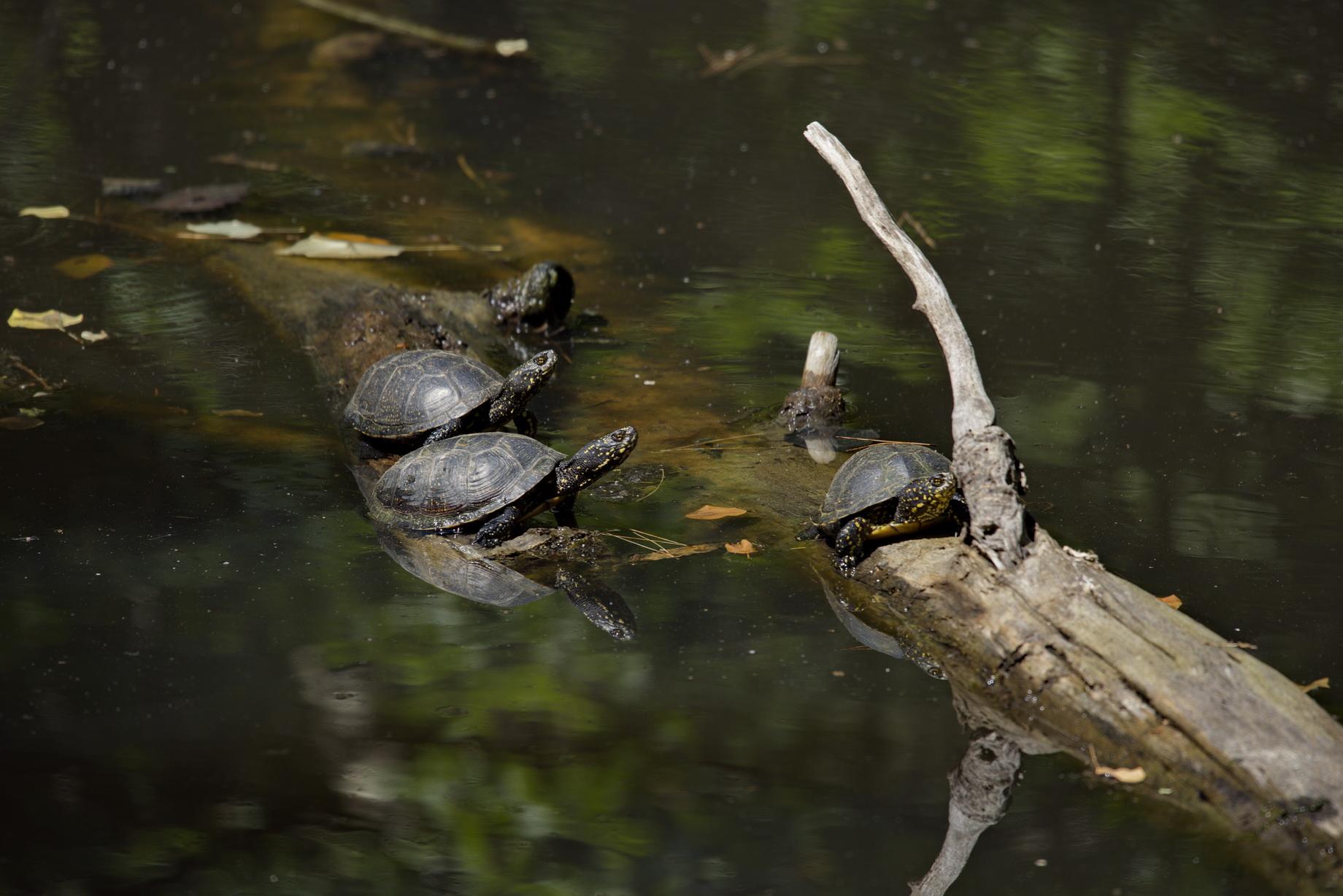Europäische Sumpfschildkröten (Emys orbicularis hellenica)