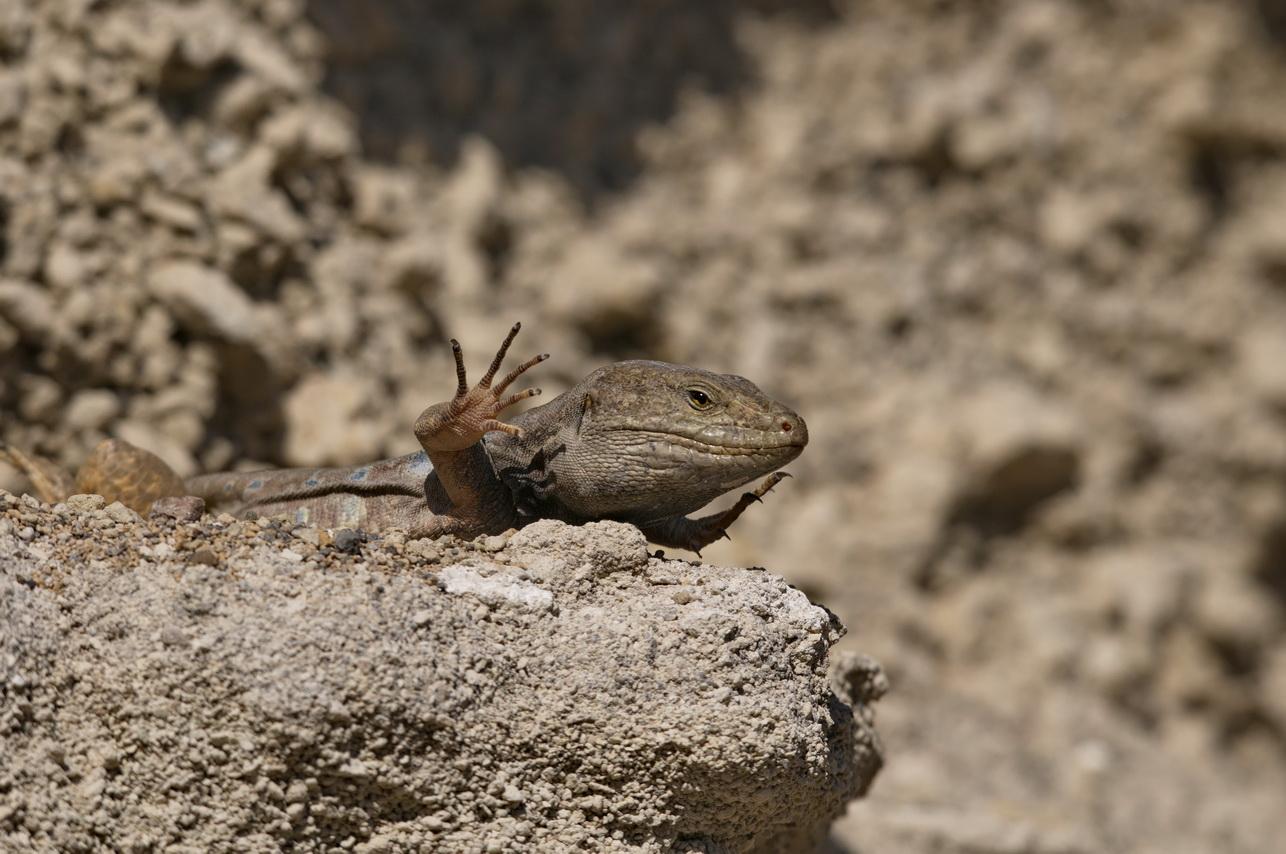 Kanareneidechse (Gallotia g. galloti), Männchen, Abades, Tenerife