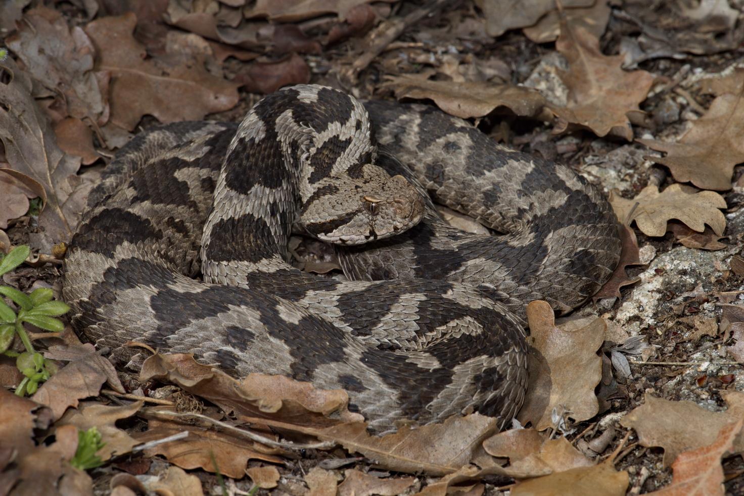 Bergotter (Montivipera xanthina), Weibchen, östliches Thrakien