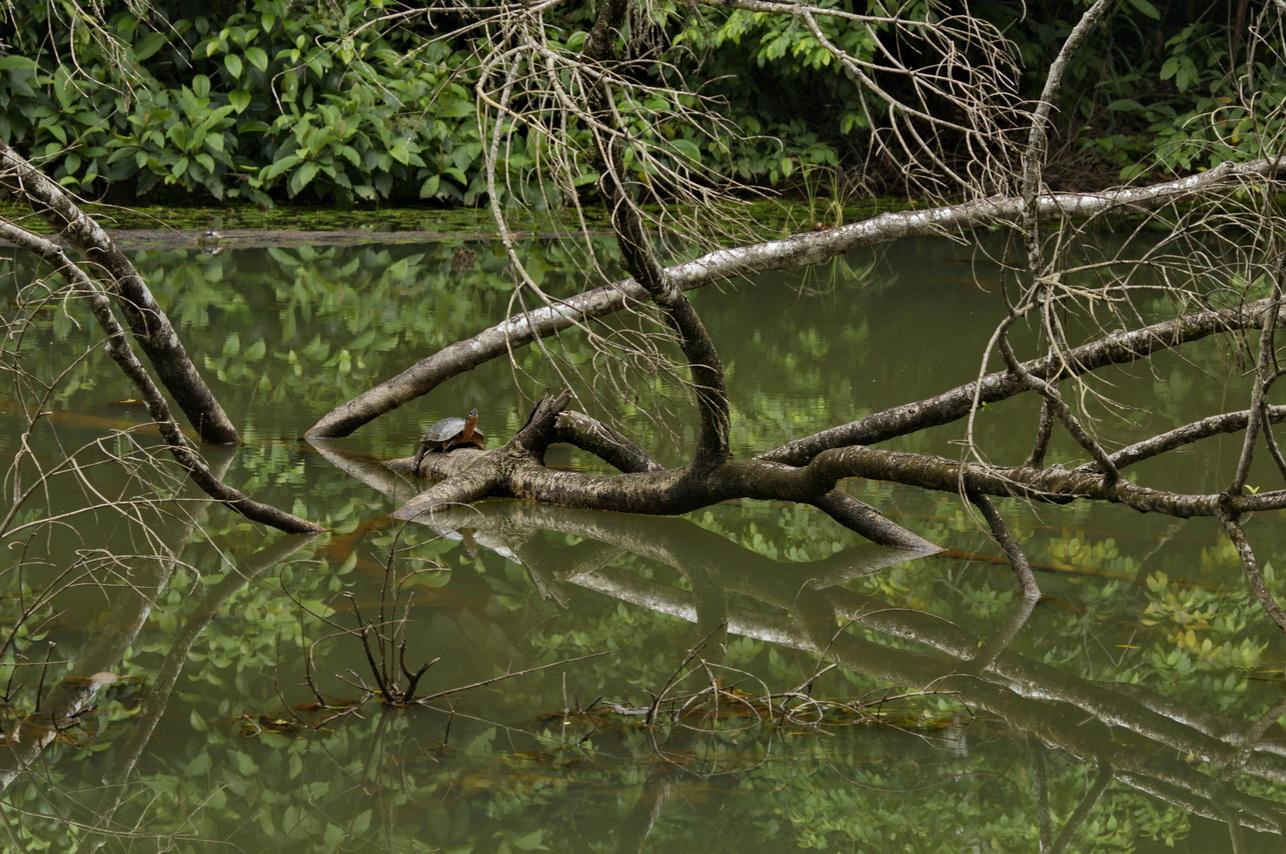 Bauchstreifen-Erdschildkröte (Rhinoclemmys funerea)