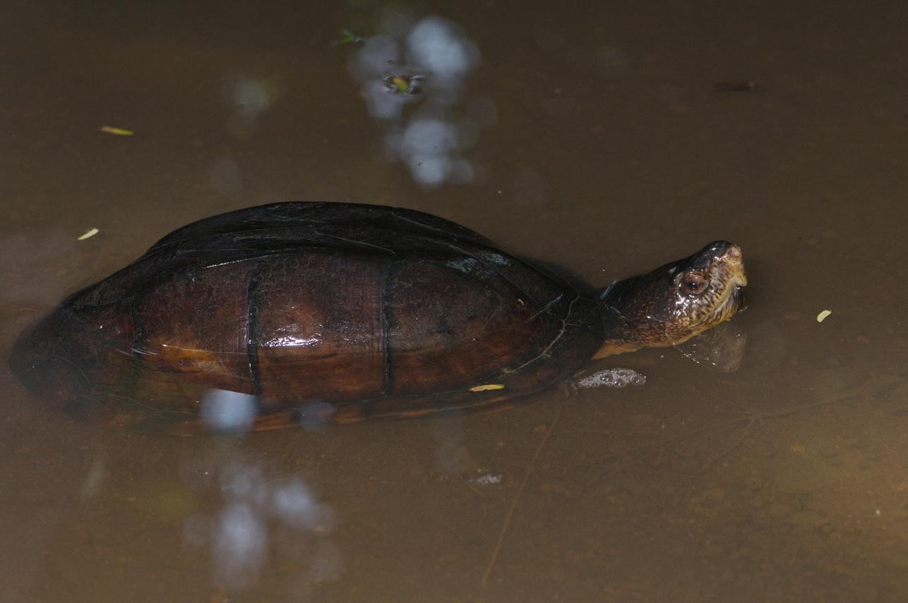 Skorpion-Klappschildkröte (Kinosternon scorpioides)