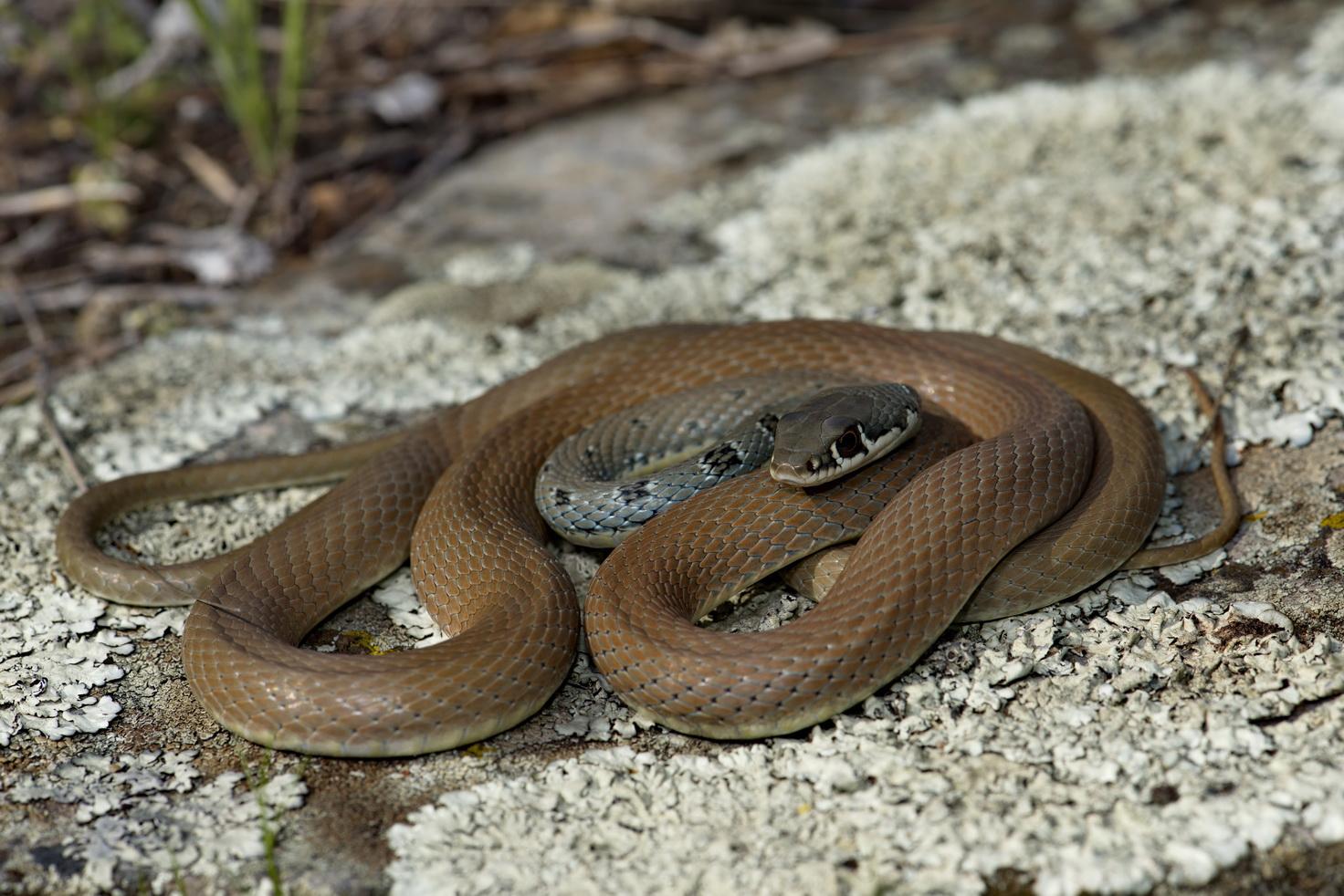 Schlanknatter (Platyceps najadum dahlii), Samothraki