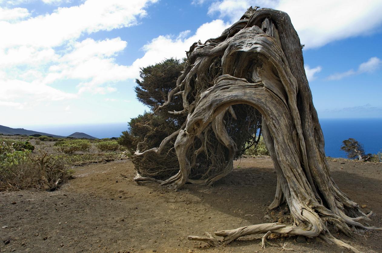 Wacholder (Juniperus phoenicea), El Sabinar, El Hierro
