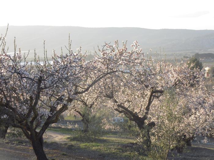 Kirschbäume blühen Natur